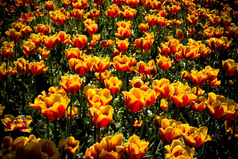 tulpen-crw_7978.jpg